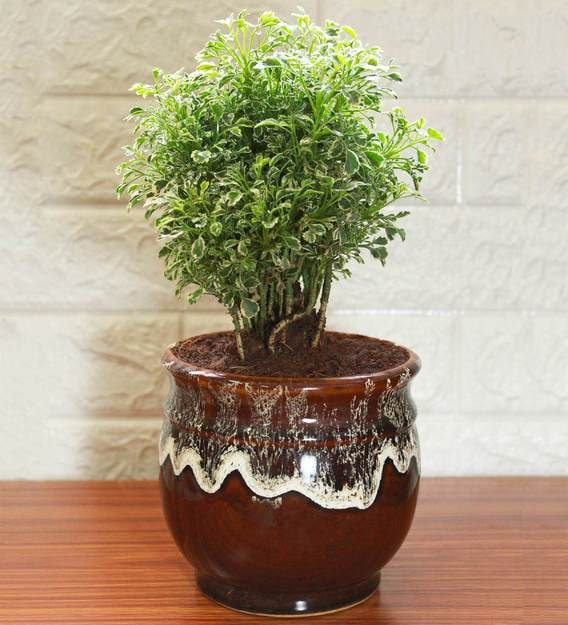 Aralia: whether its bonsai or a different plant?