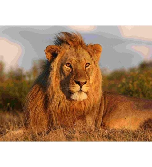 Elite Collection Majestic Lion Digital Print without Frame by Elite ...