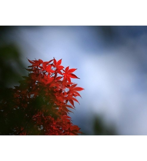 Elite Collection Painting without Frame The Crimson Coloured Leaves ...