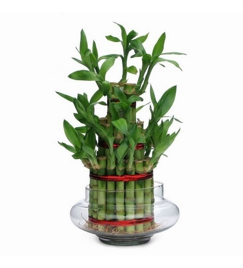 Buy Exotic Green Lucky Bamboo 3-Layer Indoor Plant In Clear Glass ...
