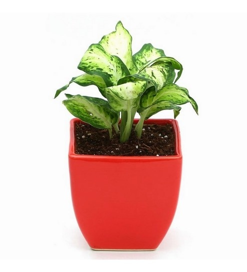 Buy Dieffenbachia Amy Indoor Plant In Red Ceramic Pot By Exotic