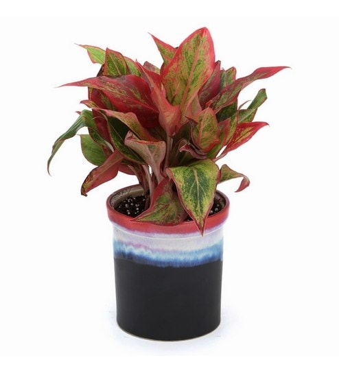 Red Aglaonema Indoor Plant With Rainbow Black Ceramic Pot By Exotic Green Online Foliage Plants Natural Decor Pepperfry Product