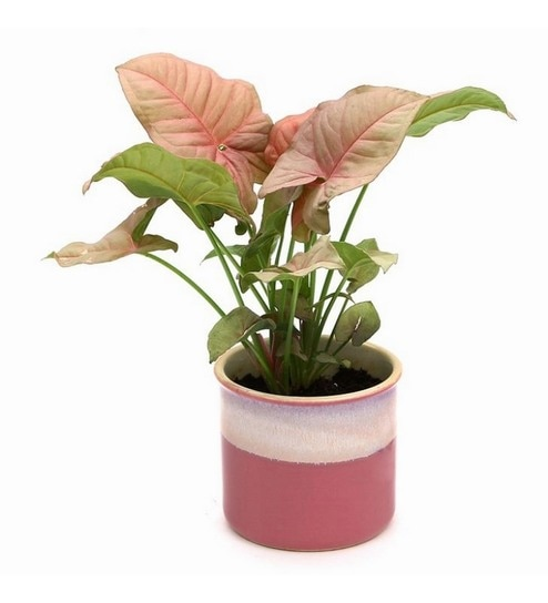 Synonym Pink Indoor Plant In Barbie Ceramic Pot By Exotic Green Online Foliage Plants Natural Decor Pepperfry Product