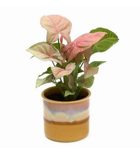 Synonym Pink Indoor Plant In Cream Cookie Ceramic Pot By Exotic Green Online Foliage Plants Natural Decor Pepperfry Product