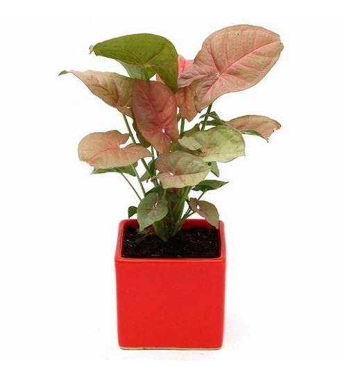 Syngonium Pink Indoor Plant In Red Ceramic Pot By Exotic Green Online Foliage Plants Natural Decor Pepperfry Product