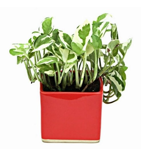 Buy Indoor Plant In Red Ceramic Pot By Exotic Green Online Foliage