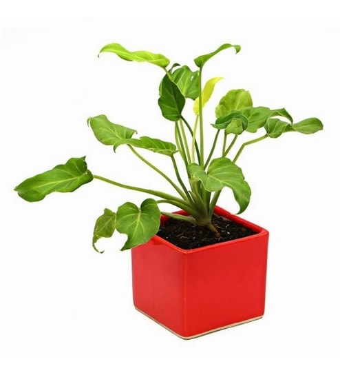Buy Xanadu Indoor Plant With Red Ceramic Pot By Exotic Green Online