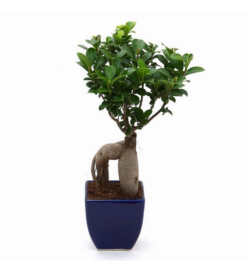 Alluring Ficus Bonsai Plant with Ceramic Blue Pot by Exotic Green