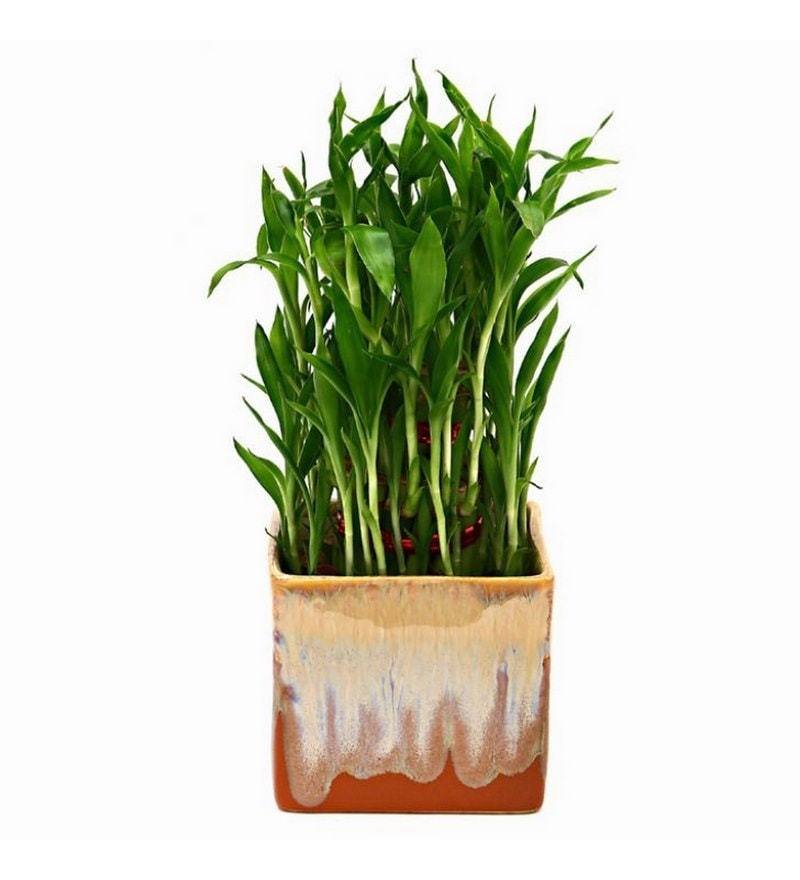 Bamboo Plant with German Brown Ceramic Pot by Exotic Green