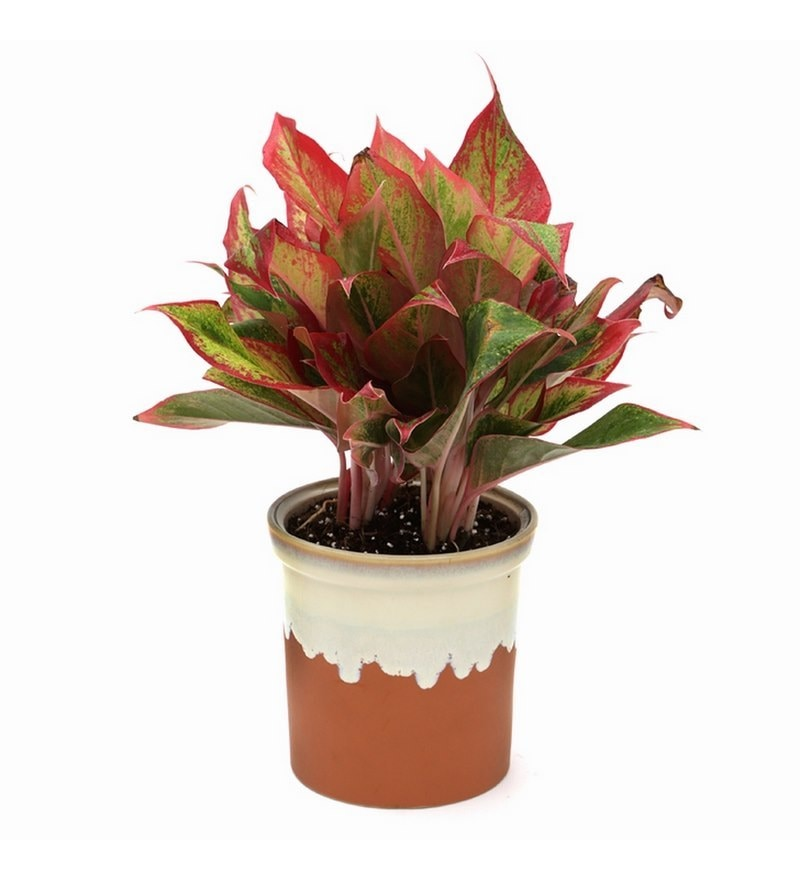Aglaonema Indoor Plant with German Brown Ceramic Pot by Exotic Green