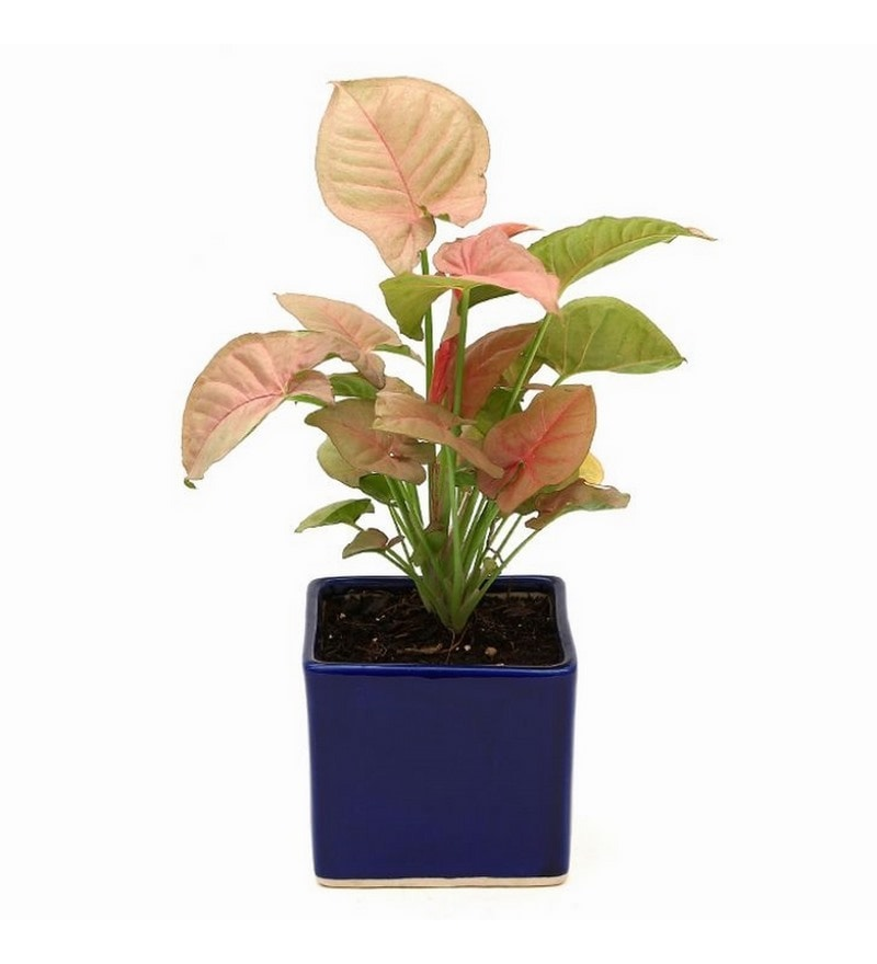 Synonym Pink Indoor Plant in Blue Ceramic Pot by Exotic Green