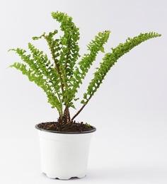 Indoor Plants Online: Buy Natural Indoor Plants at Best Prices ... on