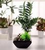 Areceae Bonsai Plant in a Black Ceramic Pot by Fourwalls