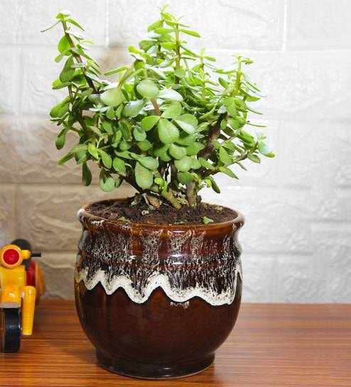 Good Luck Jade Plant in Brown Drip Glazed Pitcher Ceramic Pot by Rolling  Nature