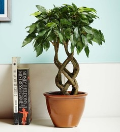 Green & Brown Plastic & Ceramic Artificial Twisted Ficus Bonsai Plant