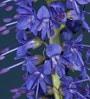 Imported Seeds Campanula Latifolia 'Faichem Lilac'