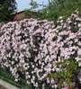 Imported Seeds Clematis Montana Perfumed Mixed