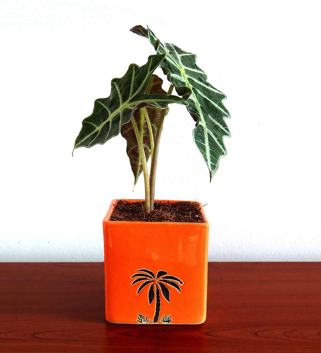 Buy Natural Alocasia Elephant Ear Plant In Orange Cube Aroez Ceramic Pot By Rolling Nature Online Foliage Plants Natural Plants Home Decor Pepperfry Product