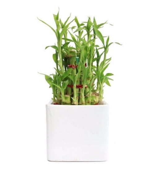 Natural Plastic Classic Lucky Bamboo Plant by Nurturing Green