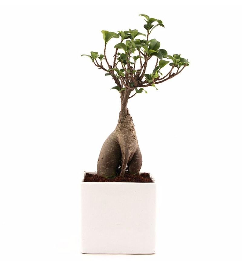 Natural Ceramic Unpolluted 2 Years Old Ficus Bonsai Plant by Nurturing Green