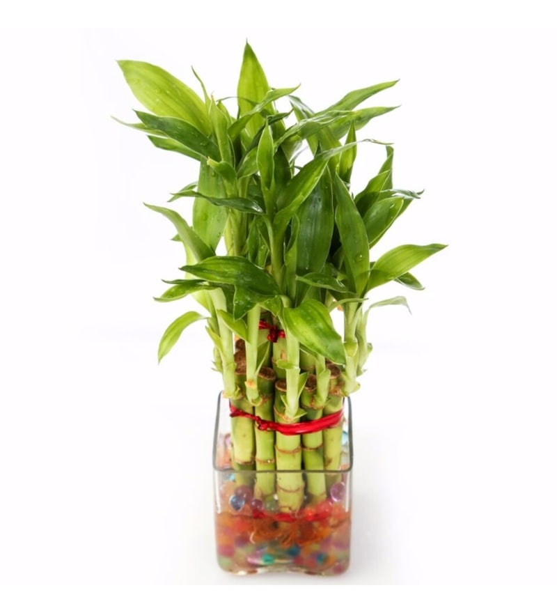 Natural Glass Lucky Bamboo Plant in Glass Pot by Nurturing Green