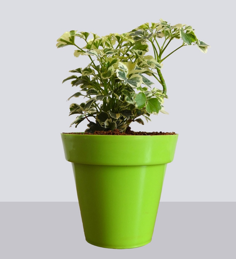 Natural Plant Aralia in Small Green Colorista Pot by Rolling Nature