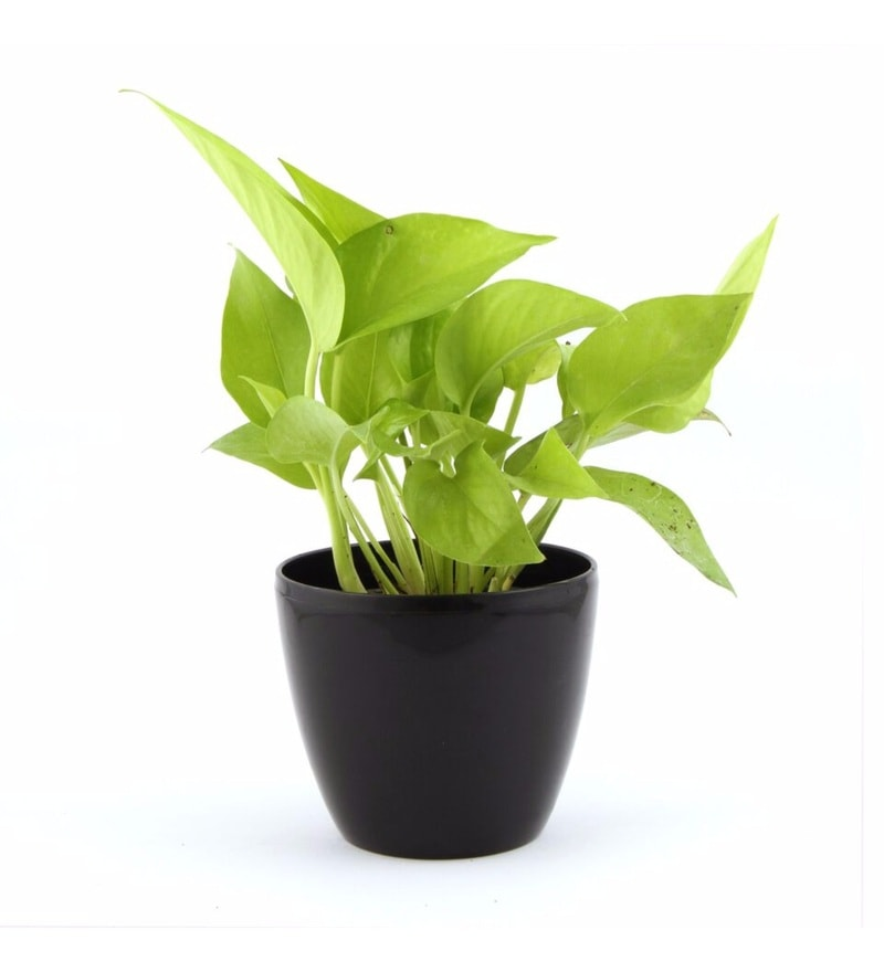 Natural Plastic Ebony Lite Pothos Plant by Nurturing Green