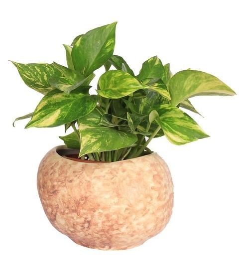 Nurturing Green Money Plant Hybrid In Brown Ceramic Pot