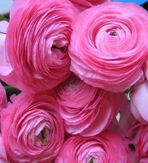 Buy nurturing green ranunculus perennial flower bulbs pink online nurturing green ranunculus perennial flower bulbs pink mightylinksfo