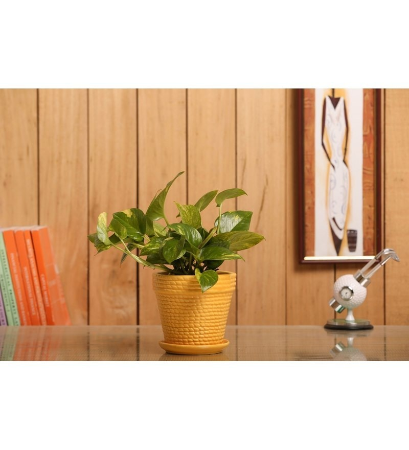 Nurturing Green Hybrid Indoor Money Plant with Yellow Ceramic Pot