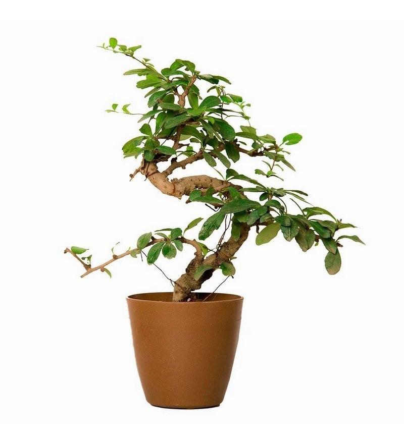S Shape Carmona Bonsai Plant & Light Brown Pot by Nurturing Green