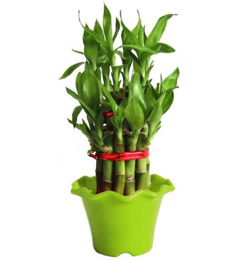 2 Layer Long Stalks Lucky Bamboo in Green Blossom Pot by Rolling Nature