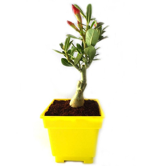 Adenium Bonsai In Yellow Square Pot by Rolling Nature