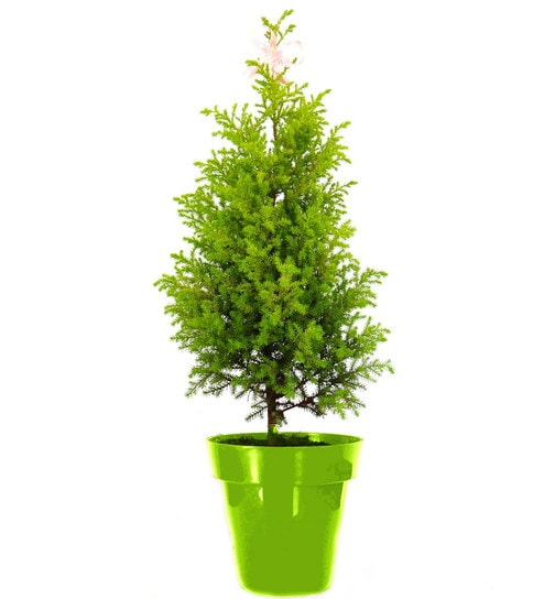 Buy Christmas Tree In Green Colorista Pot By Rolling