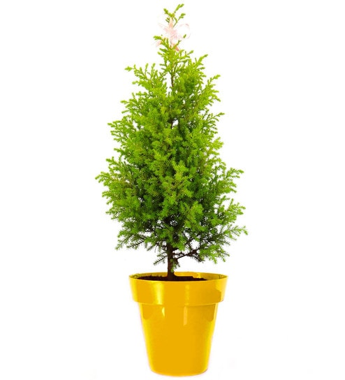 Natural Christmas Tree.Christmas Tree In Yellow Colorista Pot By Rolling Nature