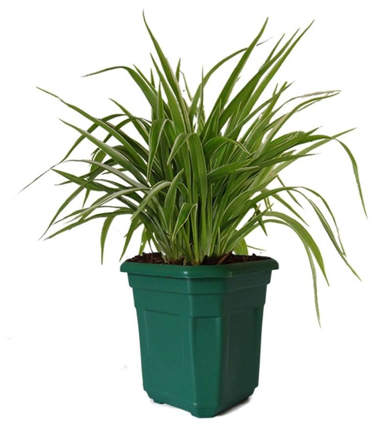 Air Purifying Spider Plant in Green Hexa Pot by Rolling Nature