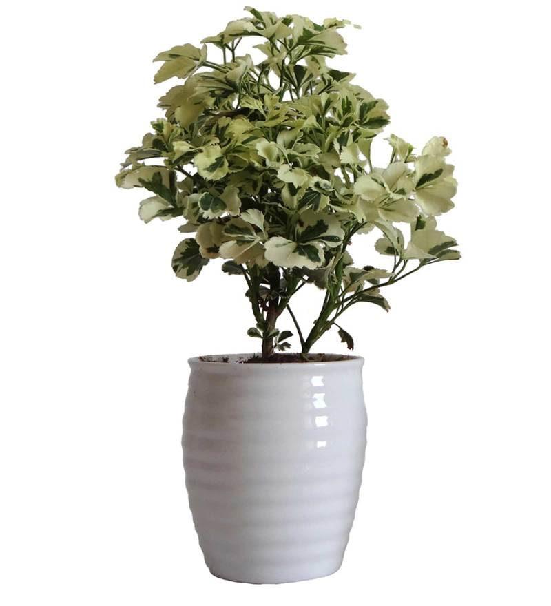 Aralia in White Round Ceramic Pot by Rolling Nature