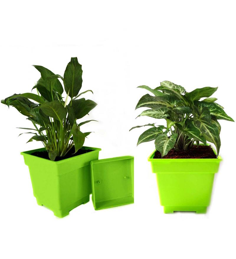 Peace Lily and Syngonium Air Purifying Plants Combo in Green Square Colorista Pot by Rolling Nature