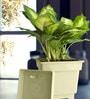 Rolling Nature Dieffenbachia Camilla in White Square Pot
