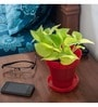 Rolling Nature Golden Pothos In Red Pot