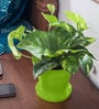 Rolling Nature Money Plant in Green Colorista Pot