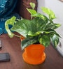 Rolling Nature Money Plant in Orange Colorista Pot