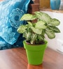 Rolling Nature Syngonium Variegated in Green Colorista Pot