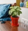 Syngonium Red Plant with Pot by Rolling Nature