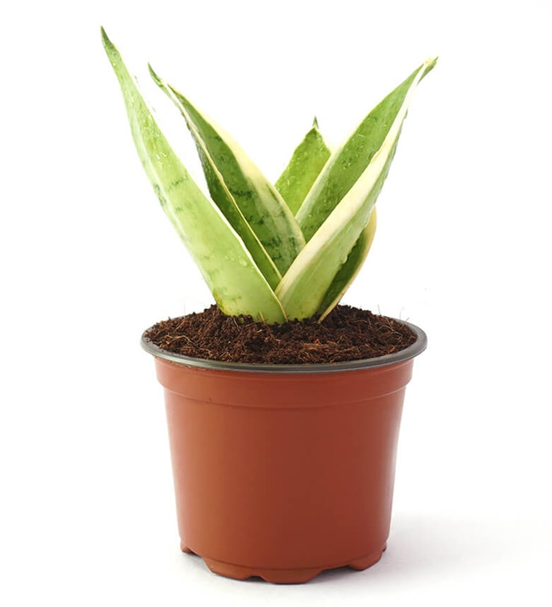 Sansevieria Moonshine (Snake Plant) Natural Foliage Plant by Ugaoo