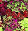Seedlings India Coleus Rainbow Mix Hybrid Seeds