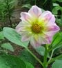 Seedlings India Dahlia Unwings Mixed Hybrid Seeds