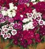 Seedlings India Dianthus Baby Doll Mixed Hybrid Seeds