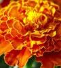 Seedlings India French Marigold Orange Hybrid Seeds