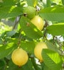 Seedlings India Guava Thai 100 Seeds